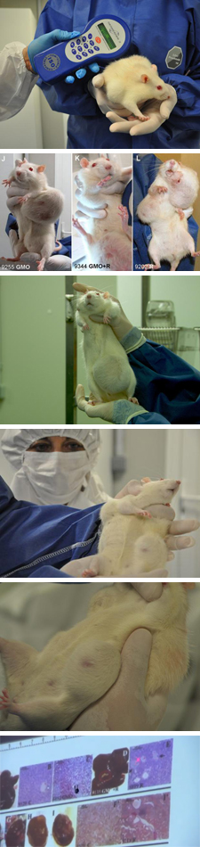 GMO Free USA - Over 60 Rodent feeding studies find harm ...