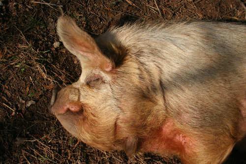 Animal Abuse Pigs